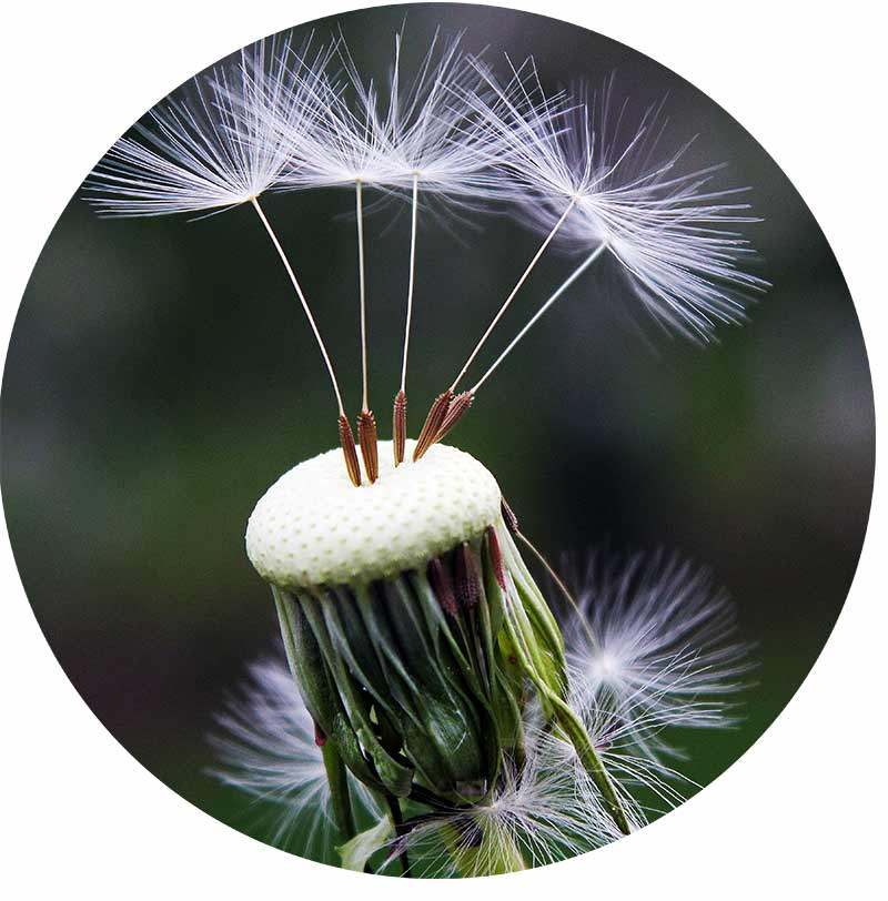 A dandelion close up with only a few seeds remaining